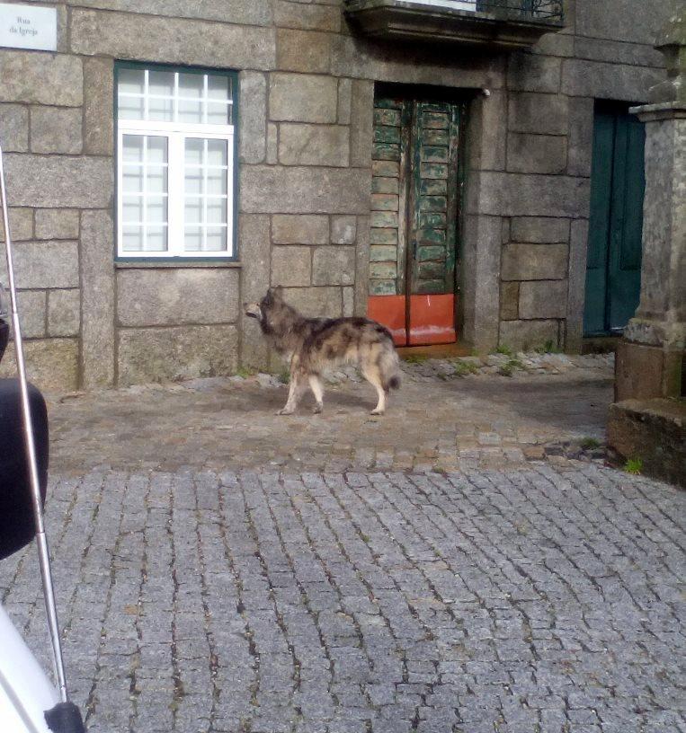 O lobo, que não demonstra assaltar muitas vezes o galinheiro (foto de Filipe Pinto).