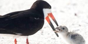Pássaro alimenta cria com cigarro.
